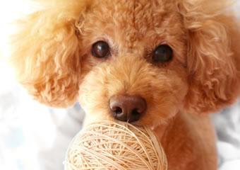 イヌの避妊手術