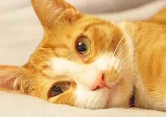 ネコの避妊手術