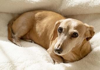 イヌの主なワクチン